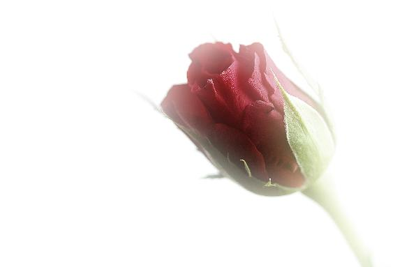 faded rose image